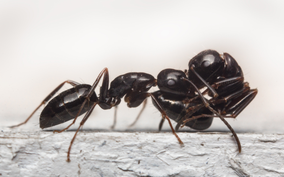 Some Ant Species Act As Paramedics During Battles