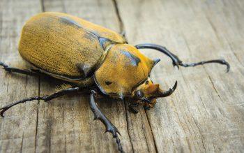 elephant beetle image