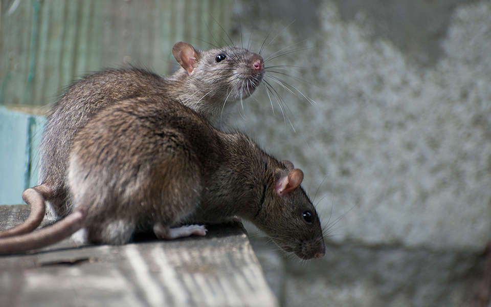 Can Rats Grow To The Size Of Small Pets?