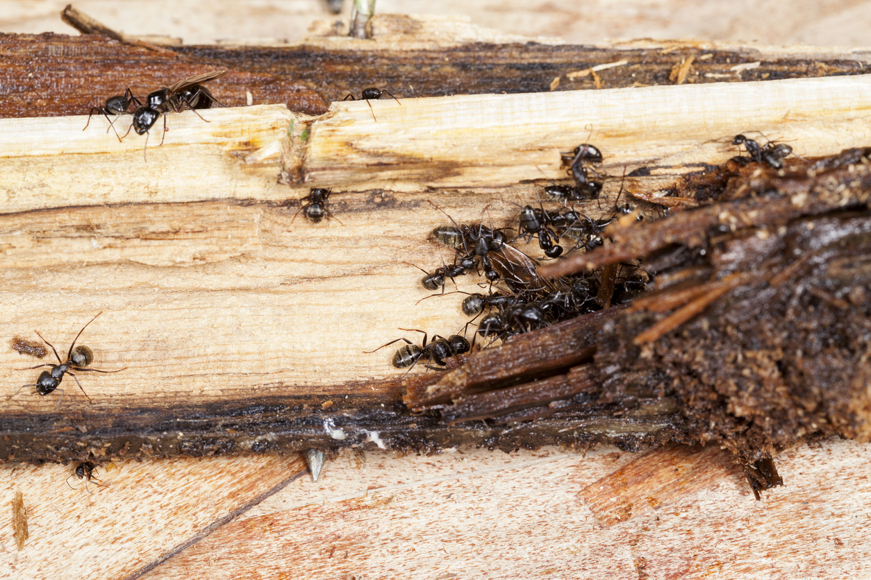 3 Ways Ants Endeavor to Outsmart You