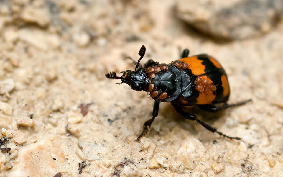 Beetles Make Food For Their Young With Dead Mice