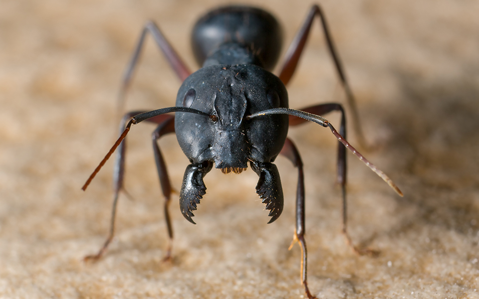 The Newest Species of Ant is 98-Million Years Old