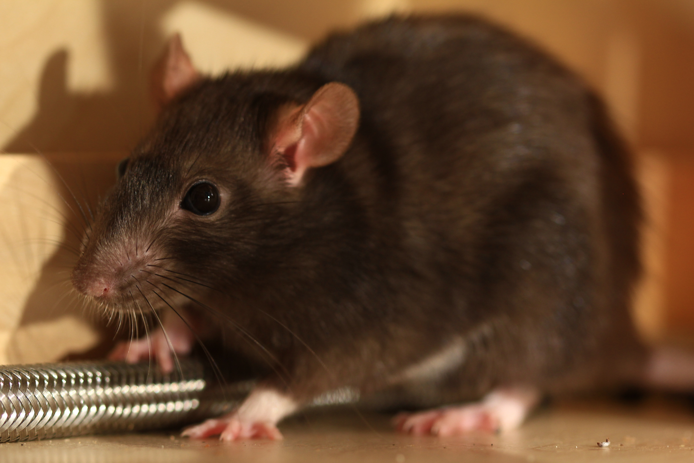 Rodent Round Up: Rats vs. Mice
