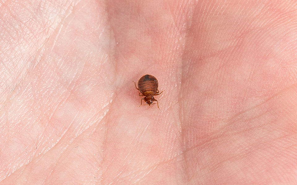 close up of a bed bug on a hand