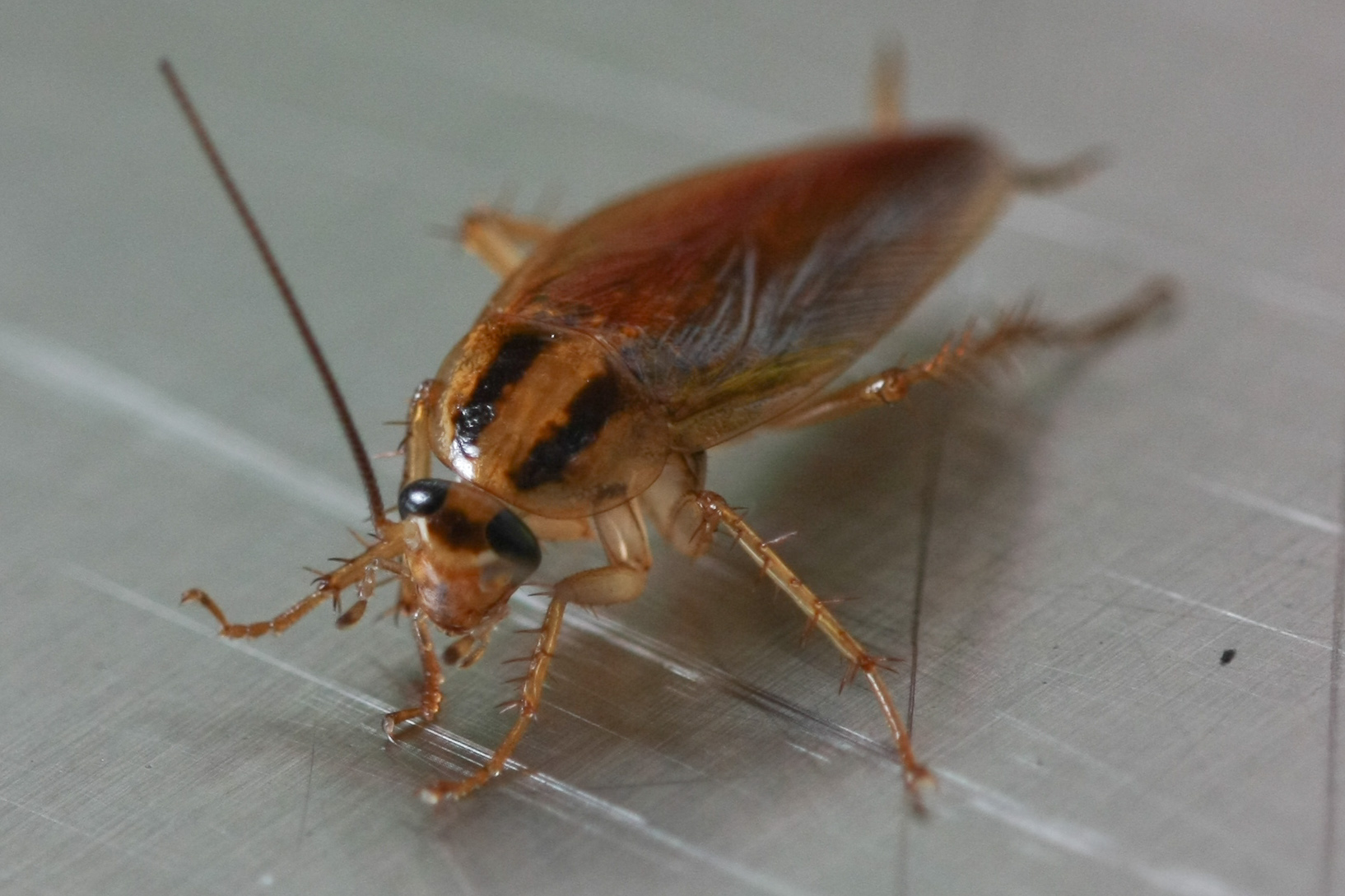 Top 3 Ways Cockroaches Are Threatening Your Business