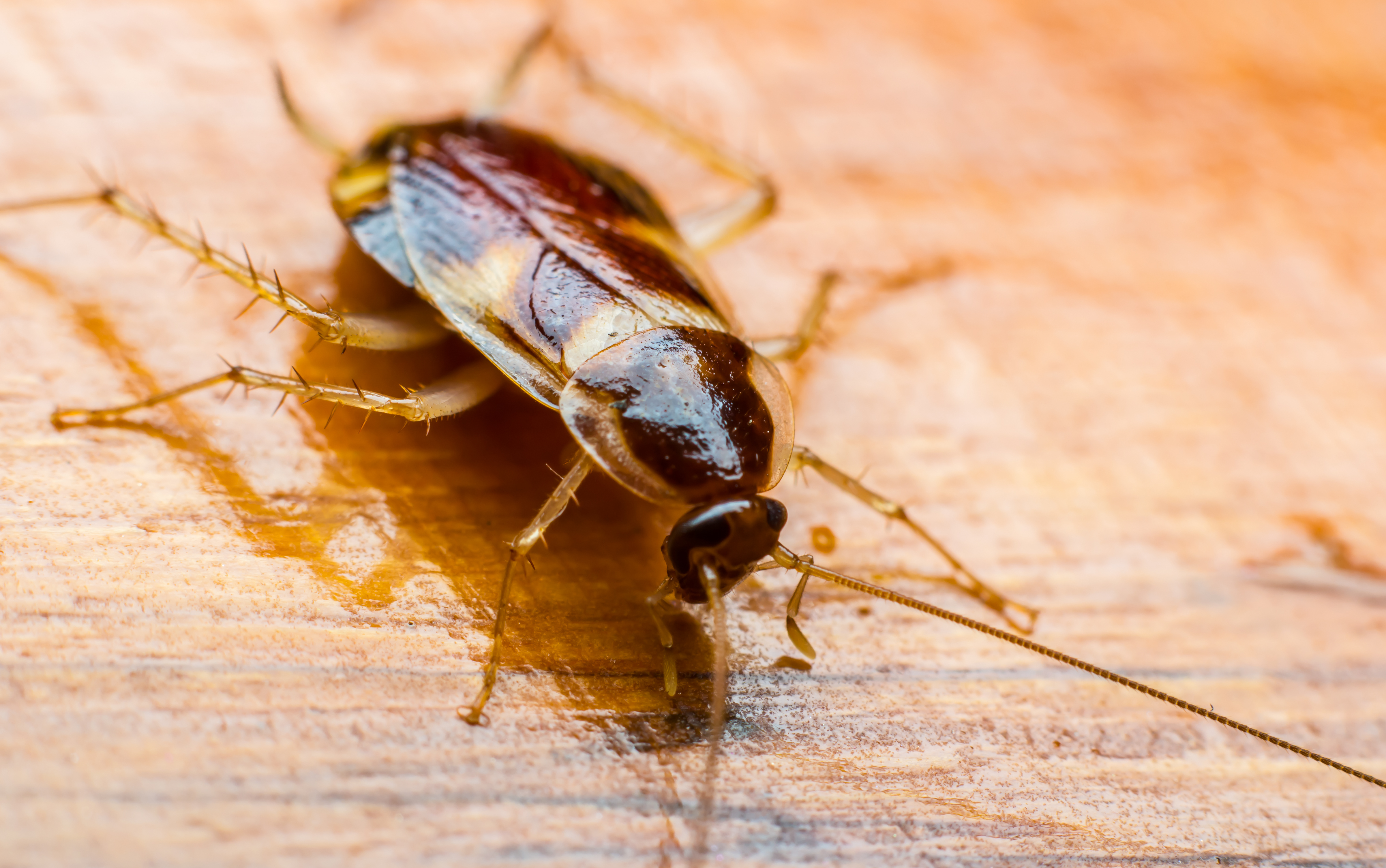 The 5 Most Common Cockroaches in Commercial Environments
