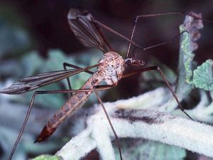 image of a crane fly