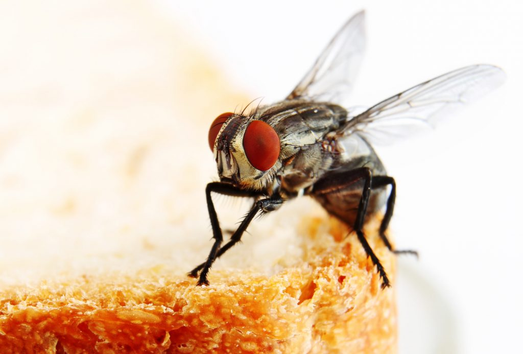 fly on bread image 1024x693