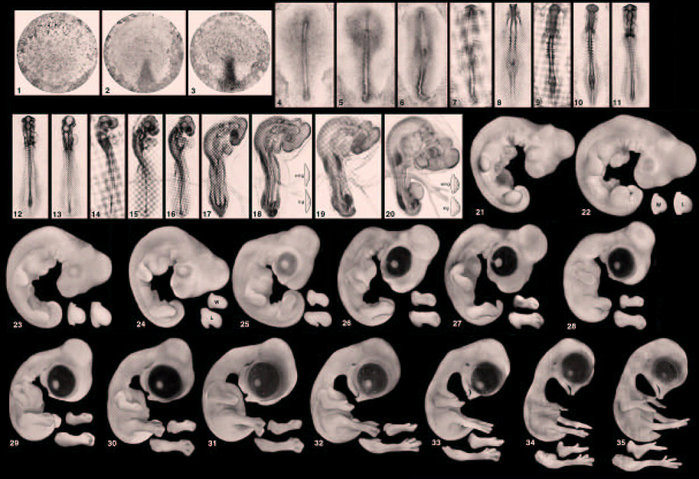 Numbered stages in chick embryo development. Stages 1 to 3 show a round cell, which begins to cleave in stage 3. Stages 4 to 13 show a tube like structure, which begins to develop darker regions as the stages advance. In stages 14 to 19, the side profile of the embryo becomes clearer, with a rounded portion that will be come the head and a tail like portion that begins curling inward. In stage 20, two limb buds, which are small, round protrusions, become visible. In stages 21 to 28, the limb buds get longer and a spot on the head portion that will become an eye begins to darken. The embryo gradually develops until the last stage shown, stage 35. At this stage the forelimbs have taken on the shape of wings, while the hindlimbs can be distinguished as legs with claw that form feet. A beak has also formed.