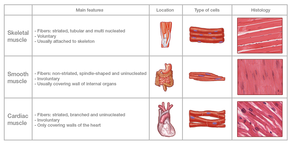Muscle tissue - Labster Theory