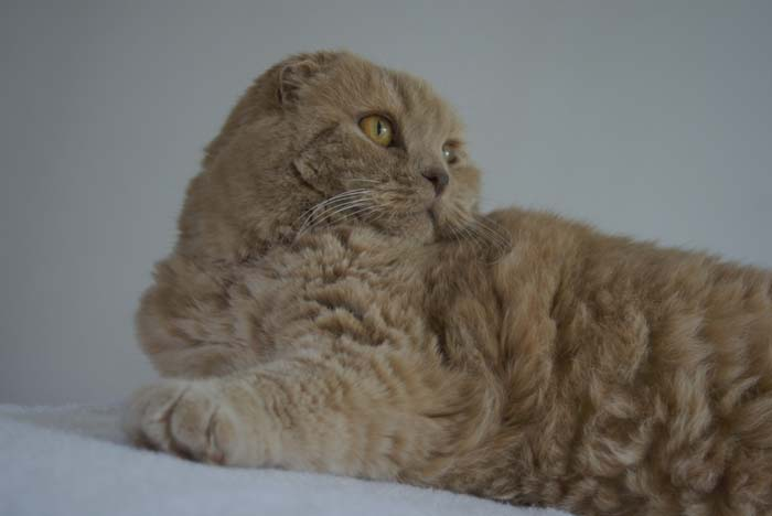 scottish fold cat, cutest cat ever, スコティッシュフォールドオス, scottish fold breeders, baby scottish fold, fold munchkins, british shorthair, cat magazine cover, cat magazines, black cat white dog, fat cats, basil farrow, ronan farrow cat, mia farrow cat, earless cats, folded ears cat breed, scottish folds, pet photoshoots, celebrity cats, fat cats, scottish folds for sale