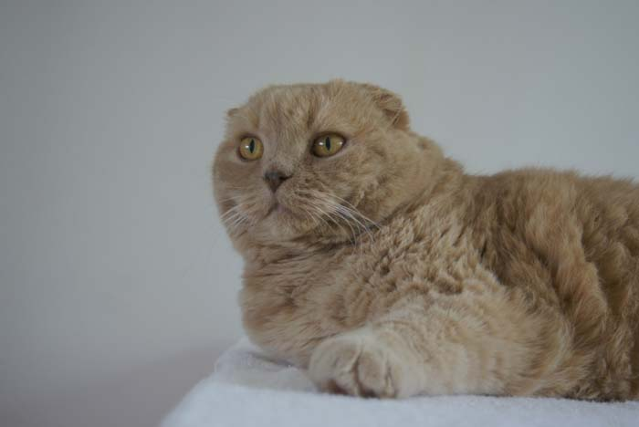 New Year S Resolutions Amp The Cutest Scottish Fold Cat Ever