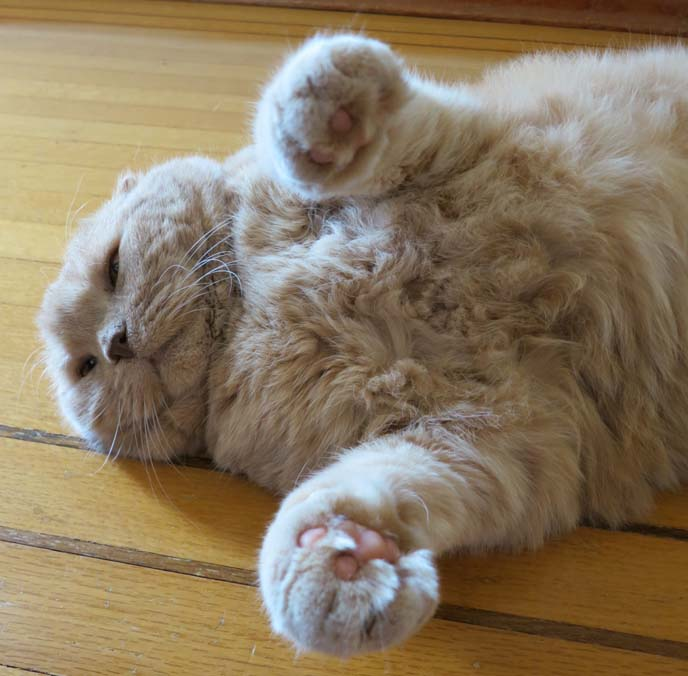 scottish fold basil, cutest cat photos