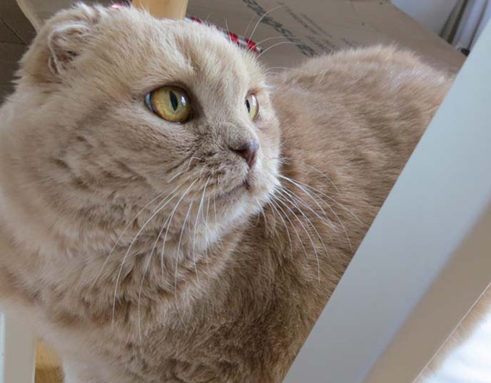 scottish fold cream colored cat