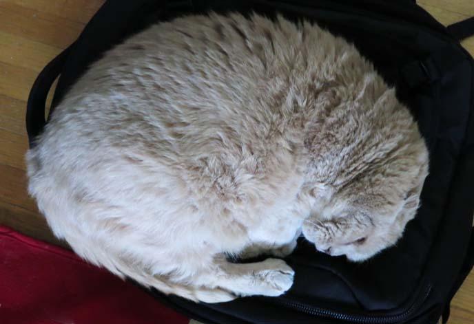 scottihs fold cat curled up, sleeping