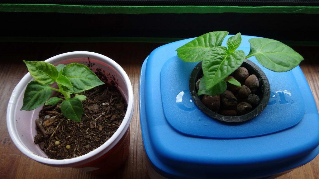 Hydroponic Vs Soil Experiment – 6 Weeks Growth Comparison