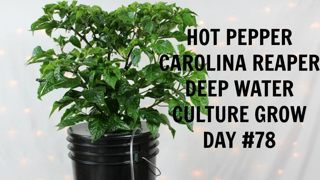 Homemade Hydroponics System | Deep Water Culture | Carolina Reaper Grow #5 | Hot Peppers | LED Grow
