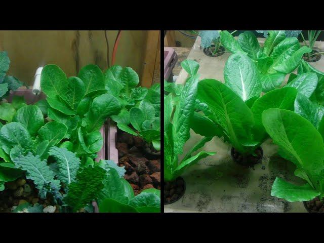 indoor aquaponics vs kratky hydroponics p2