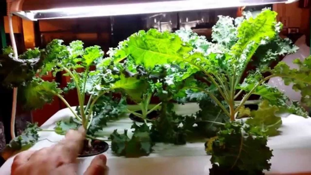 How to Hydroponics: Easy Kale Complete Guide and Grow Organically in a Hydroponic system.