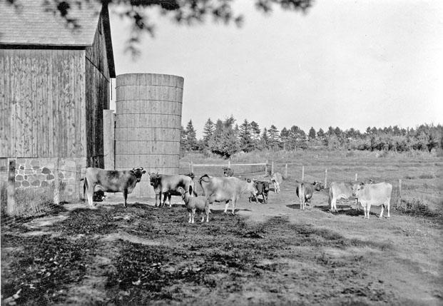 Jersey cattle