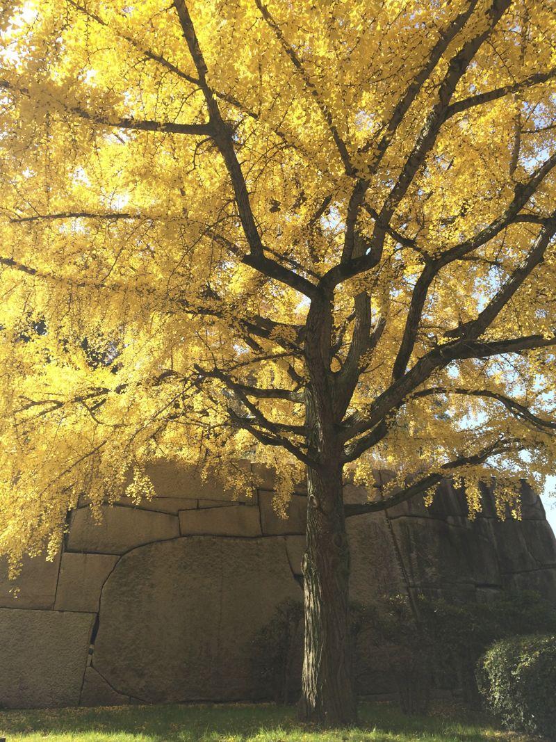 Japan bright yellow Ginkgo tree