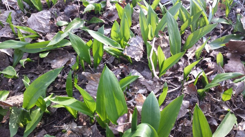 Wild garlic growing in the parjk