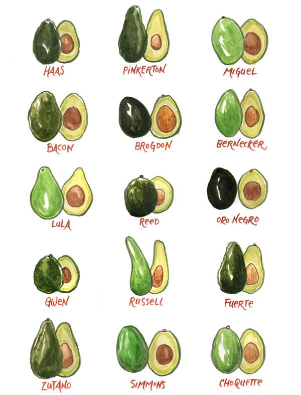 Avocado drawn by Sarah Becan