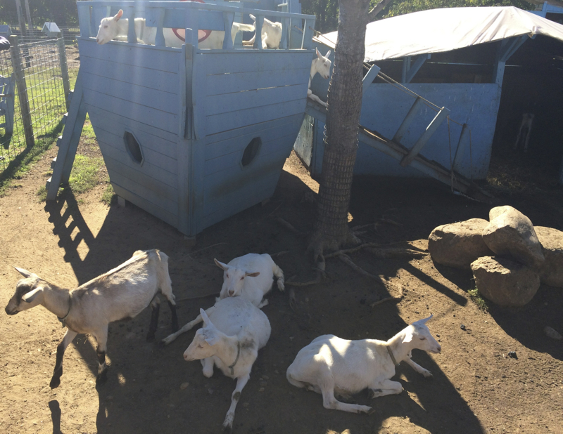 Goats on Catapano dairy farm