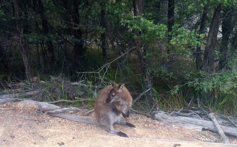 wildlife in Tasmania