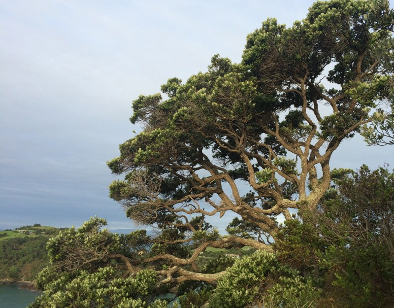 Native trees on Waiheke island