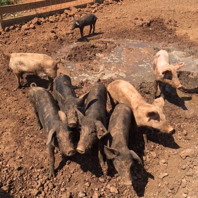 Formentera black pig