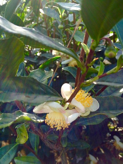 Flowering tea plant