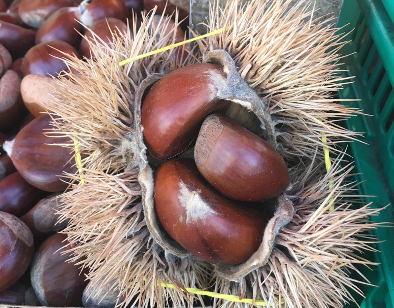 Italian chestnut