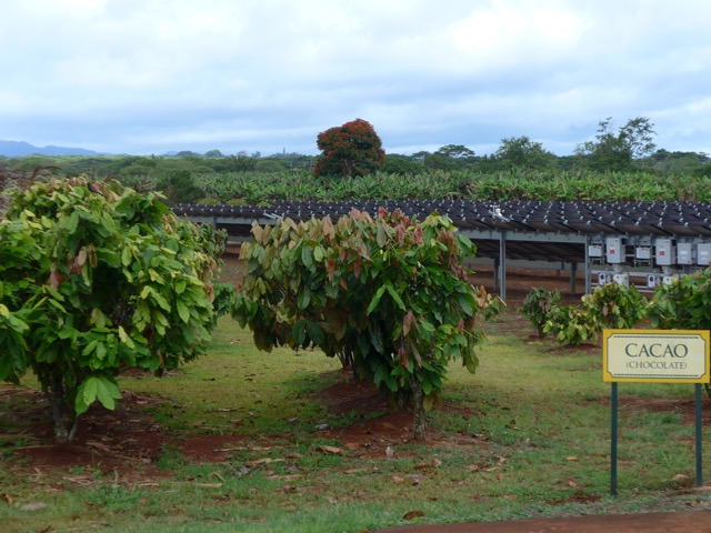 Cocoa plantation in Hawii