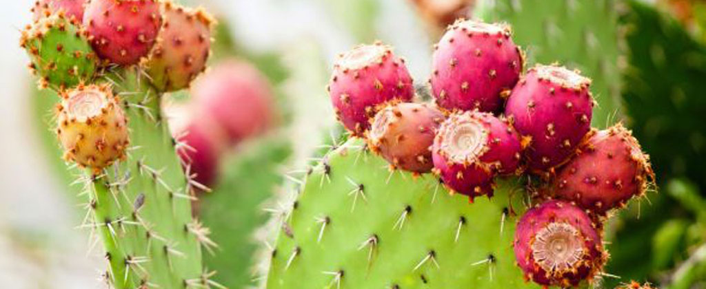 prickly_pear