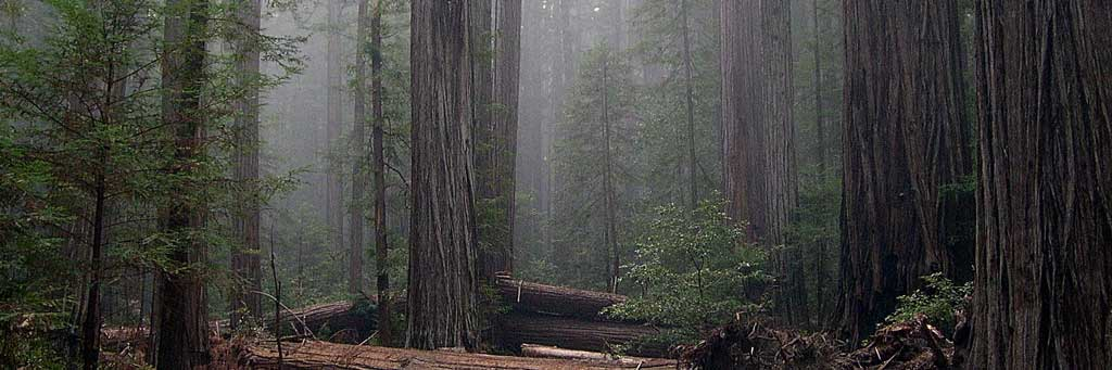 Forest_Sequoia_1024