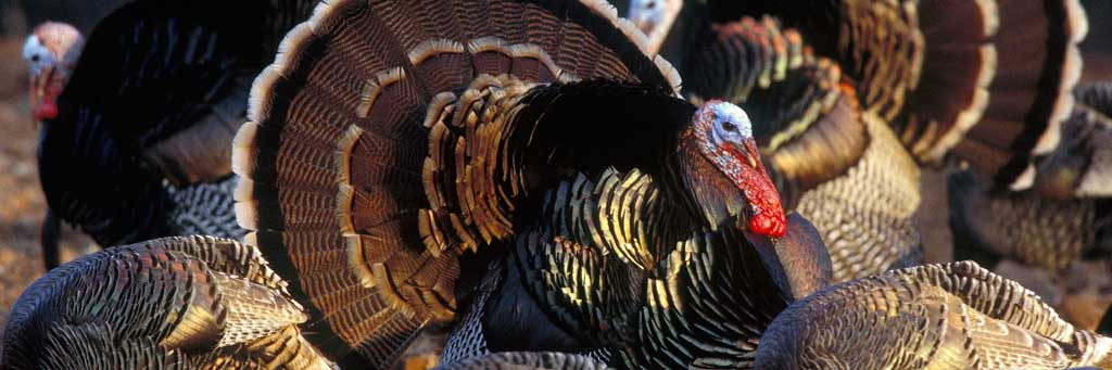 turkeyhunting_1024