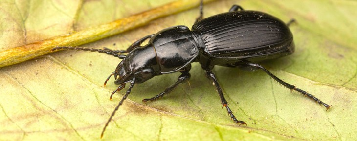 ground-beetle