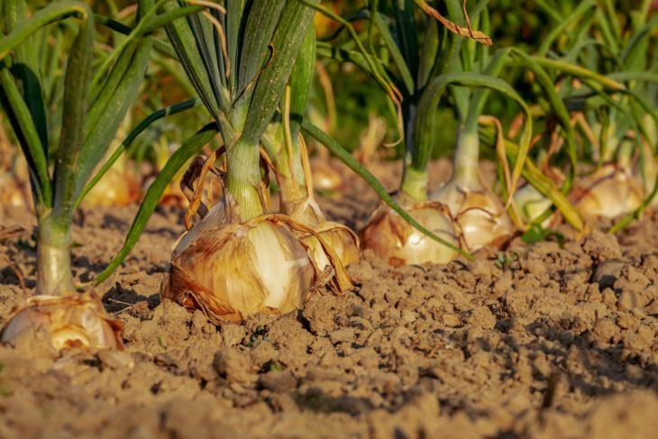 Onions growing in a desert garden