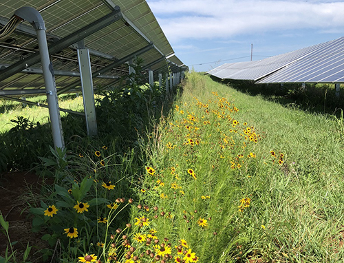 Strata Solar's array at Redmon Farm includes a pollinator mix within the array. The North Carolina Pollinator Conservation Alliance helped with the design but credits the company for its great work.