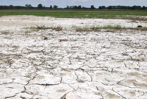 After a series of hot dry days, salt from saltwater intrusion has moved up through the soil profile and precipitated as a crust on the surface of this Maryland farm field near the Chesapeake Bay / Dani Weissman/University of Maryland (2018)