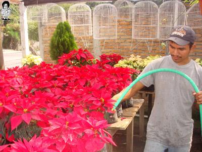 El cuidado de los cultivos de flores de pascuas es especializado por su delicadeza.