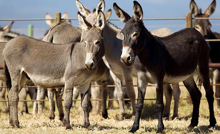 Últimos burros en adopción