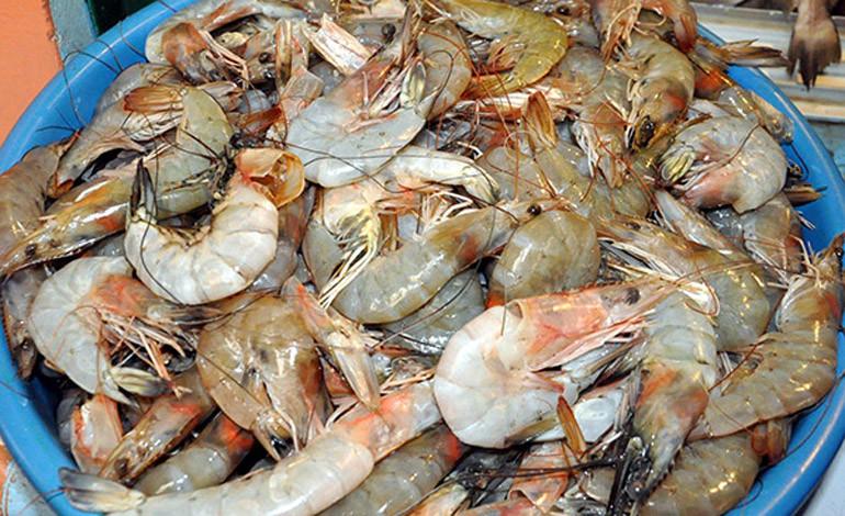 Se pretenden producir más de 12 millones de libras de camarón