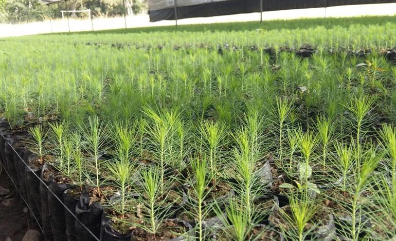 Lufussa ha cumplido su meta de producir 200,000 árboles este año