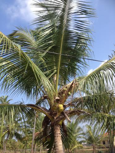 cocnut-tree_mh1.jpg
