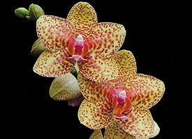 """Phalaenopsis Dancing Queen """"Honey Dew"""". Photo by Robert Jan Quene"""
