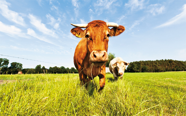Fight-Fat-with-Fat-Cows