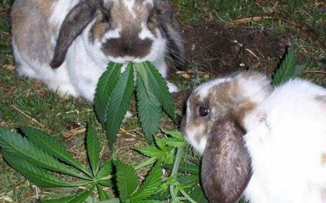 Dea stonedrabbits marijuanalegalization