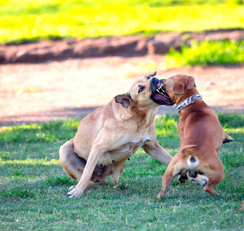 Dogfighting_dogs3